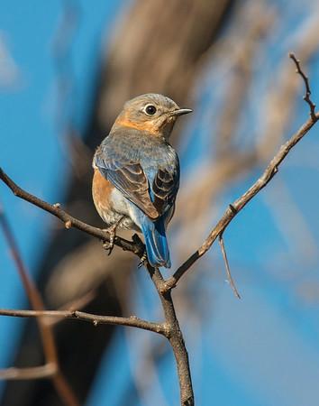 Eastern Blue Bird, Wichita Mountains Wildlife Refuge, OK