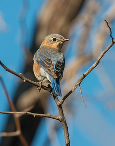 Eastern Blue Bird, Wichita Mountains Wildlife Refuge, OK