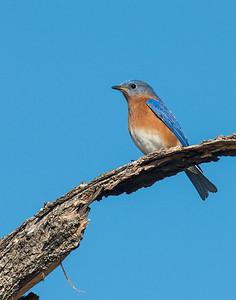 Eastern Bluebird, Taylor Lake, OK
