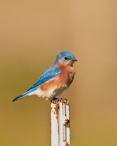 Eastern Bluebird, Le Flore County, OK