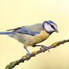 Blue Tit (Parus coeruleus), Herrerillo