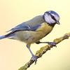 Herrerillo (Parus coeruleus)