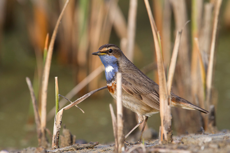 Bluethroat patrolling the pond shore