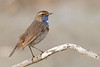 Bluethroat on its perch