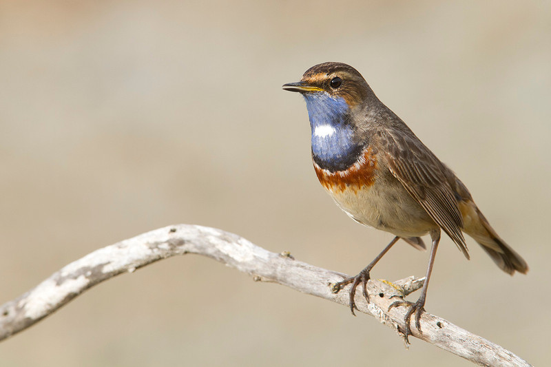 Bluethroat perched and singing in a branch near the pond