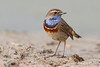 Bluethroat in a frame of silt in the saltmarsh