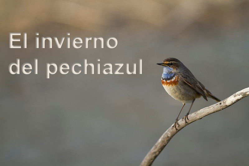 Bluethroats staying in saltmarshes of southern Europe (Cádiz) in winter.