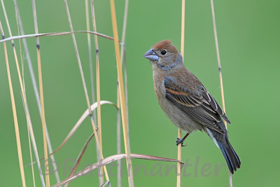 Blue Grosbeak ♀
