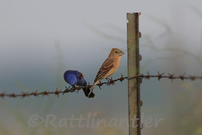 Blue Grosbeak Pair