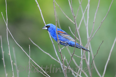 Blue Grosbeak ♂