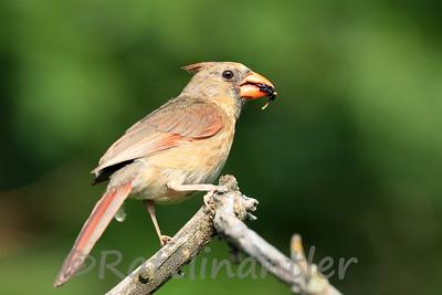 Northern Cardinal ♀
