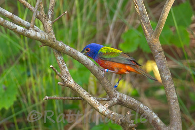 Painted Bunting ♂