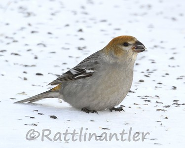 Pine Grosbeak ♀