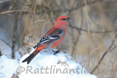 Pine Grosbeak ♂