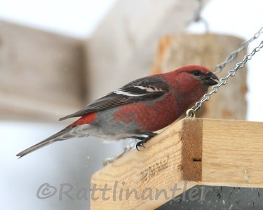 Pine Grosbeak ♂.