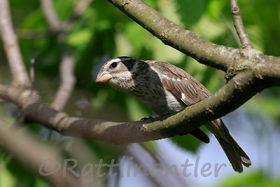 Rose-Breasted Grosbeak ♀