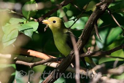 Scarlet Tanager ♀