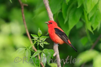 Scarlet Tanager ♂