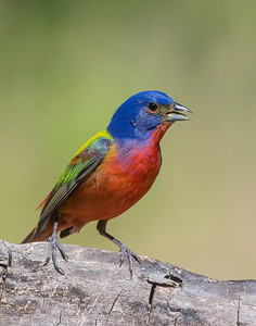 Painted Bunting, Wichita Mountains National Wildlife Refuge