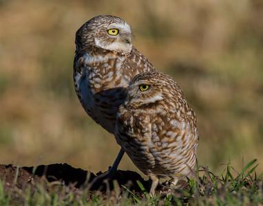 Burrowing Owl, Southwest OK