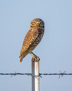 Burrowing Owl, Cotton County, OK