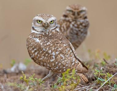 Burrowing Owl, SW Oklahoma