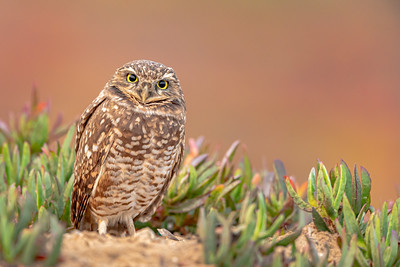 Burrowing Owl with Ice Plant