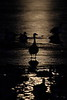 Moonlit Canada Geese