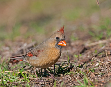 Northern Cardinal (Female), Wichita Mountains National Wildlife Refuge, OK