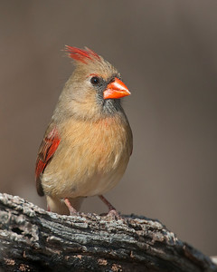 Cardinal (Female), Wichita Mountains Wildlife Refuge, OK