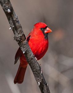 Northern Cardinal (Male), Wichita Mountains National Wildlife Refuge, OK