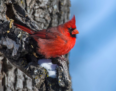 Northern Cardinal, Wichita Mountains National Wildlife Refuge, OK