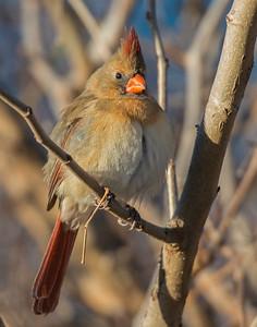 Cardinal, Taylor Lake, OK