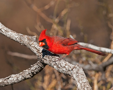 Cardinal (Male), Wichita Mountains Wildlife Refuge, OK