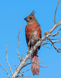 Northern Cardinal, Wichita Mountains National Wildlife Refuge