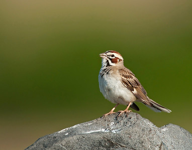 Lark Sparrow (I think), Wichita Mountains Wildlife Refuge, Oklahoma