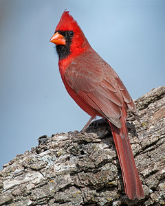 Cardinal, Wichita Mountains Wildlife Refuge, OK