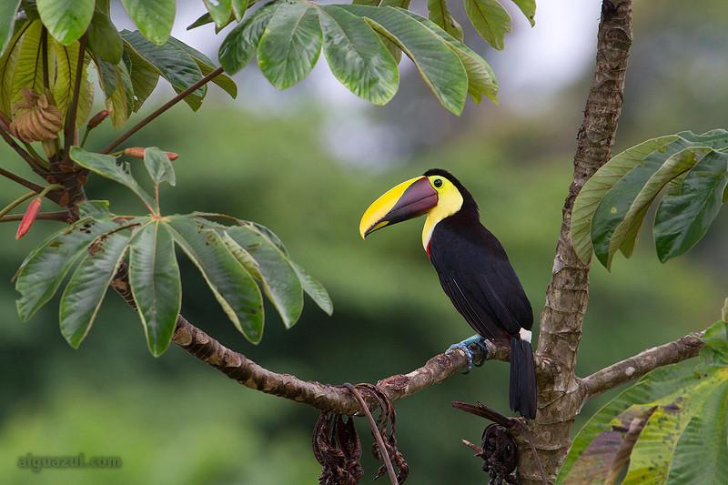 Tucán de Swainson (Ramphastos swainsonii) sobre Cecropia en bosque del norte de Costa Rica
