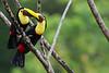 Pareja de Tucanes de Swainson (Ramphastos swainsonii)