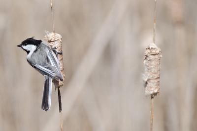 Black-capped Chickadee  - Presqu'ile