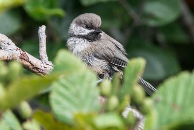 Boreal Chickadee - Little Barasway