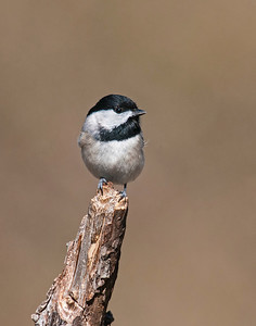 Carolina Chickadee, Wichita Mountains National Wildlife Refuge, OK