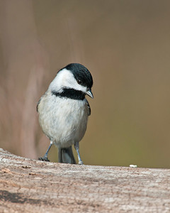 Black Capped Chickadee, Wichita Mountains Wildlife Refuge, OK