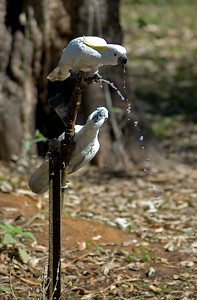 Two Cockatoos having a drink