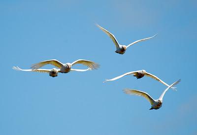 Flying Galahs
