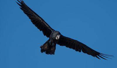 Black Cockatoo - Lee Point