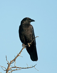 American Crow, Wichita Mountains Wildlife Refuge, Oklahoma