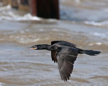 Neotropic Cormorant, High Island, TX
