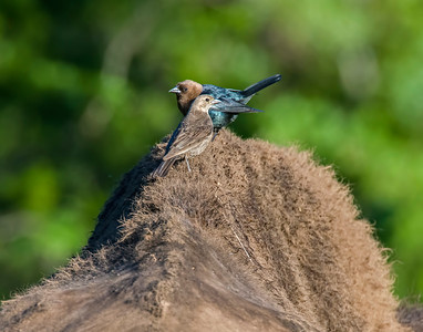 Brown-headed Cowbird, Wichita Mountains National Wildlife Refuge, OK