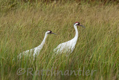 Cranes and Limpkins